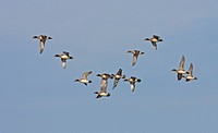 Eurasian Wigeon Anas penelope flock, eleven in flight, England, winter