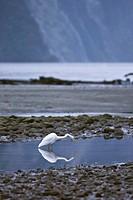 Great White Egret Egretta alba adult, wading in coastal habitat, Milford Sound, South Island, New Zealand