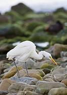Great White Egret Egretta alba adult, walking on coastal rocks, near Kaikoura, South Island, New Zealand