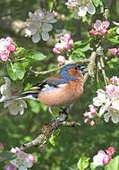 Chaffinch Fringilla coelebs Male singing _ Apple blossom _ Washington, West Sussex, England