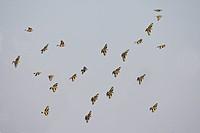 European Goldfinch Carduelis carduelis and Eurasian Linnet Carduelis cannabina mixed flock in flight, Spain, winter