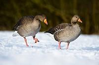Greylag Goose Anser anser adult pair, walking on snow, Golden Acre Park Nature Reserve, Leeds, West Yorkshire, England, february