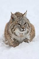 Bobcat (Lynx rufus), Montana, USA