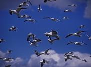 Kelp Gull Larus dominicanus Several in flight