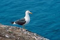 Lesser Black_backed Gull Larus fuscus adult standing