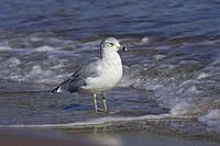 Ring_billed Gull Larus delawarensis adult, on beach, standing on shoreline