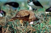 Swamp Harrier Circus approximans Raiding Ibis nest _ Australia
