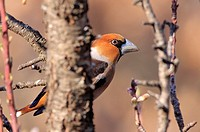 Hawfinch (Coccothraustes coccothraustes) perched on almond tree, Vaucluse, France