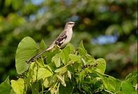 Northern Mockingbird Mimus polyglottos adult, perched in fruiting bush, Linstead, Jamaica, november