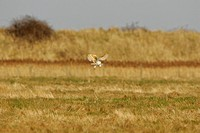 Barn Owl Tyto alba adult, in flight, hunting over coastal pasture, Shingle Street, Suffolk, England, march
