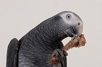 African Grey Parrot Psittacus erithacus pet, gnawing on bone