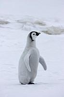 Emperor Penguin Aptenodytes forsteri chick, standing on snow, Snow Hill Island, Antarctic Peninsula, Antarctica