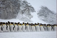 King Penguin Aptenodytes patagonicus adults, group standing together in snow, Right Whale Bay, South Georgia
