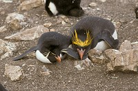 Macaroni Penguin Eudyptes chrysolsphusWith Rockhopper Penguin Eudyptes crestatus