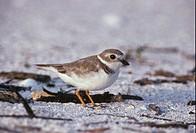 Bird Piping Plover Charadrius melodus winter evening sun