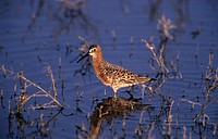 Curlew Sandpiper Calidris ferruginea In shallow water Lesbos, Greece, May