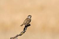Eurasian Tree Sparrow Passer montanus juvenile, perched on twig, Spain