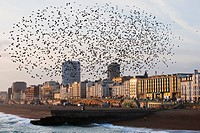Common Starling Sturnus vulgaris flock, in flight over sea, gathering at evening roost site, Brighton Pier, East Sussex, England