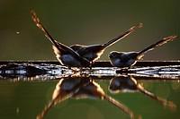 Long_tailed Tit Aegithalos caudatus three juveniles, drinking at woodland pool, backlit with reflections at dusk, Hungary, summer