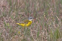 Spanish Wagtail Motacilla flava iberiae adult male, foraging on ground, Spain