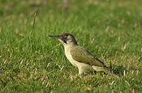 Green Woodpecker Picus viridis adult female, feeding on ground, Oxfordshire, England