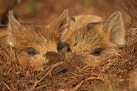Eurasian Wild Boar Sus scrofa piglets, two sleeping in sunshine on forest floor, Scotland