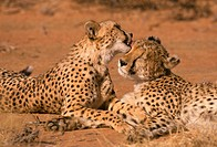 Cheetah Acinonys jubatus Two resting _ one licking others head _ Okonjima, Namibia S