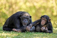 Chimpanzee Pan troglodytes adult female with young resting