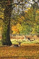 Fallow Deer Dama dama buck, resting on fallen leaves beside tree, Dunham Massey, Greater Manchester, England, autumn