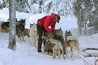 Domestic Dog, Siberian Husky, person putting harnessed sled team onto traces, Lapland, Finland