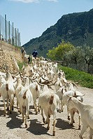 Domestic Goat, herd, walking with farmer along track, Elche de la Sierra, Albacete, Castilla la Mancha, Spain