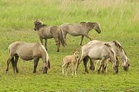 Konik Horse Equus caballus herd, mares with young foals, on wetland reserve, Oostvaardersplassen, Netherlands, may