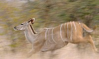 Greater Kudu Tragelaphus strepsiceros adult female, running through bush, Kruger N P , Mpumalanga, South Africa
