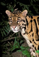 Clouded Leopard Neofelis nebulosa Male _ close_up showing head S