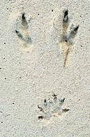 Quokka Setonix brachyurus footprints in sand, Rottnest Island, Western Australia