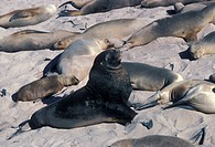 Hooker´s Sea Lion Neophoca hookeri Bull and harem on sandy beach