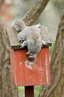Eastern Grey Squirrel Sciurus carolinensis adult, looking into bird nestbox in urban garden, Greater Manchester, England