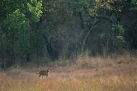 Indian Tiger Panthera tigris Standing _ looking _ Bandhavgarh National Park, India S
