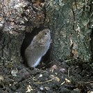 Vole_Field Microtus agrestis aka Short_tailed on hind legs by hole in trunk