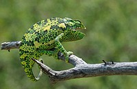 Flap_necked Chameleon Chamaeleo delepis adult on branch, Etosha N P , Namibia