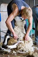 Young farmer shearing sheep for wool in barn