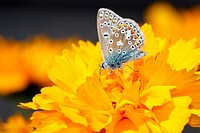 Common Blue Butterfly Polyommatus icarus Adult feeding on flower
