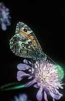 Grayling Butterfly Hipparchia semele On mauve flower _ Wortham Ling, Norfolk S
