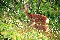 Parent and Child Deer, Hokkaido, Japan