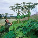 Giant Hogwood Herodeum mantegazzianum Man looking at plants growing at side of field S