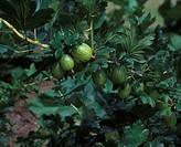 Gooseberry Close up of fruit on bush