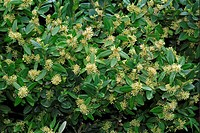 Box Buxus sempervirens flowers and leaves, Germany