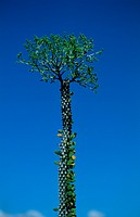 Didieraceen Alluaudia sp flowers, Madagascar