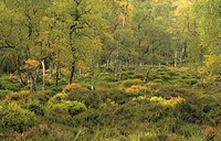 Deciduous forest, Silver Birch Betula pendula and heather groundcover, Scotland