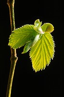 Common Hazel Corylus avellana close_up of leaves unfurling from bud in spring